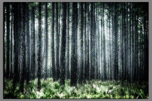 09_Florida_Pines
