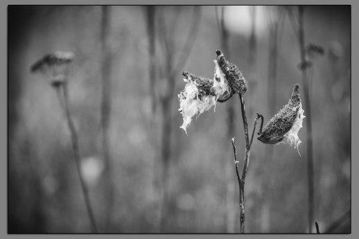 Rain Soaked Milkweed